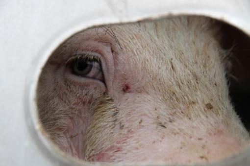 Photo f a sad and frightened pig taken at a Toronto Pig Save vigil in 2012.